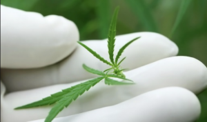 This initiative will be the largest and most comprehensive clinical database yet accumulated in the emerging field of medical marijuana.